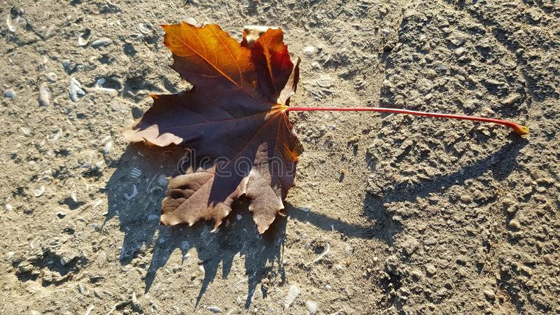 Brown dry maple leaf in sunlight atop textured concrete surface stock photo