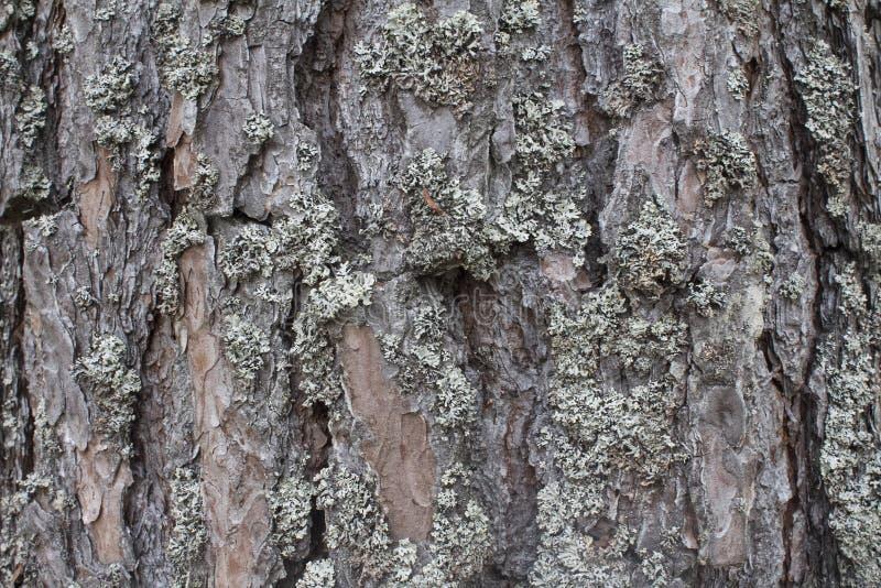 Brown Drzewna barkentyna w lesie zdjęcie royalty free
