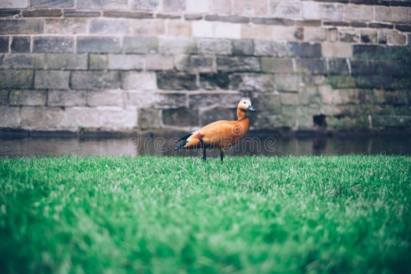 Brown Duck in Green Grass stock photos