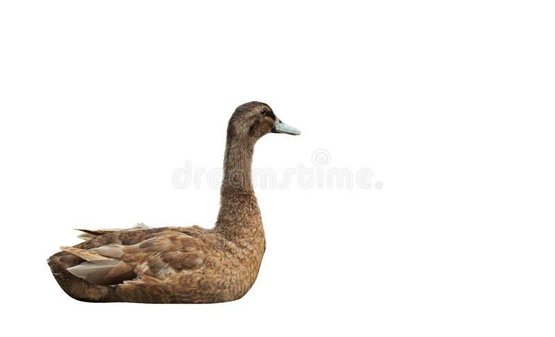 Brown Duck Lie Down Isolated auf weißem Hintergrund, Beschneidungspfad lizenzfreies stockfoto