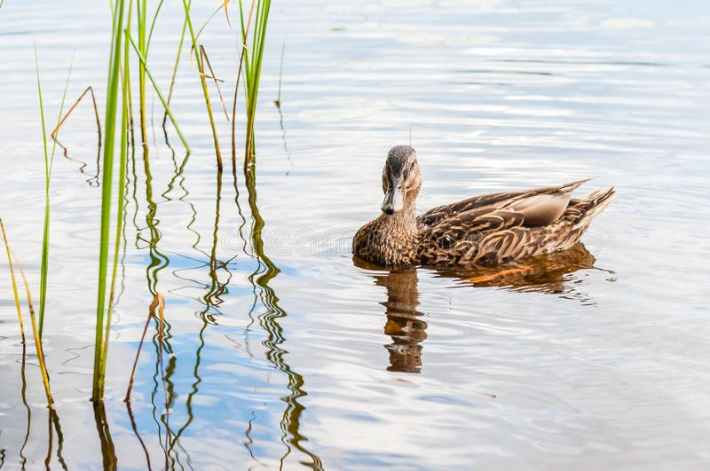 Brown duck swimming in lake near the beach. Water birds species in the waterfowl family Anatidae. Brown duck swimming in lake near the coast. Water birds species royalty free stock photography