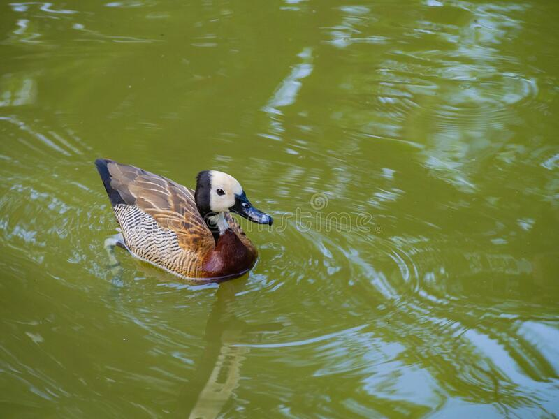 Brown duck. Swimming in the pool royalty free stock images
