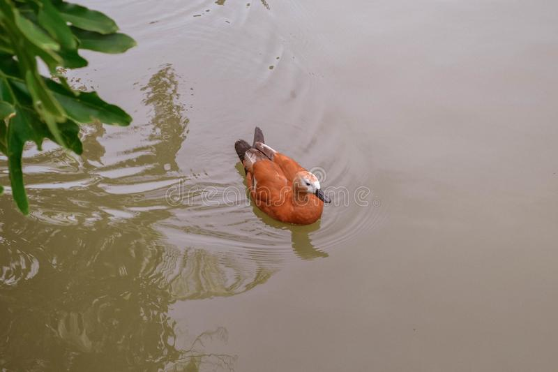 Brown duck swimming in water. stock image