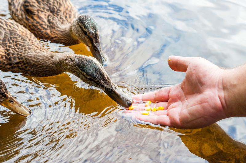 Brown ducks, ducklings eating corn grains from human palm hand in lake near the beach, feeding time. Water birds species in the. Brown ducks, ducklings eating royalty free stock photos