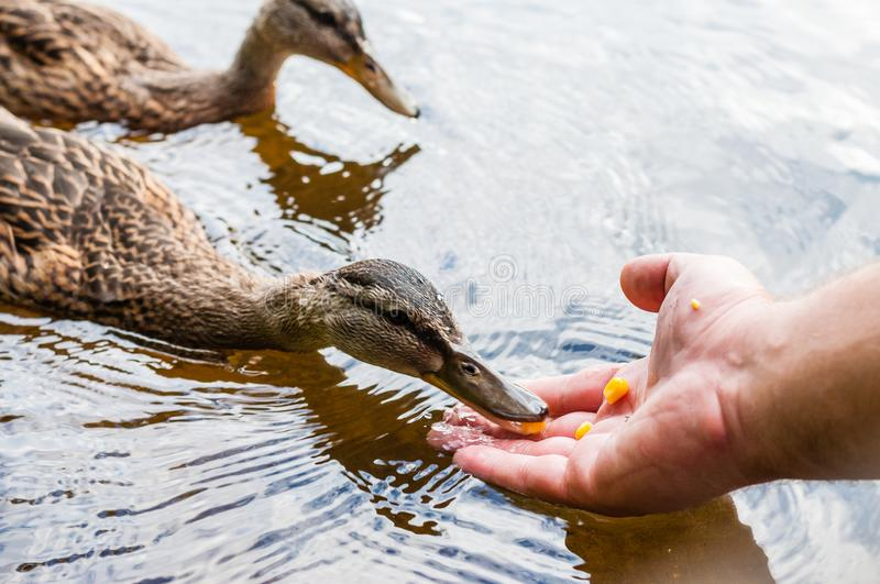 Brown ducks, ducklings eating corn grains from human palm hand in lake near the beach, feeding time. Water birds species in the. Brown ducks, ducklings eating royalty free stock photo