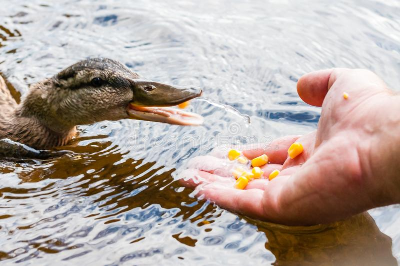 Brown ducks, ducklings eating corn grains from human palm hand in lake near the beach, feeding time. Water birds species in the. Brown ducks, ducklings eating stock image