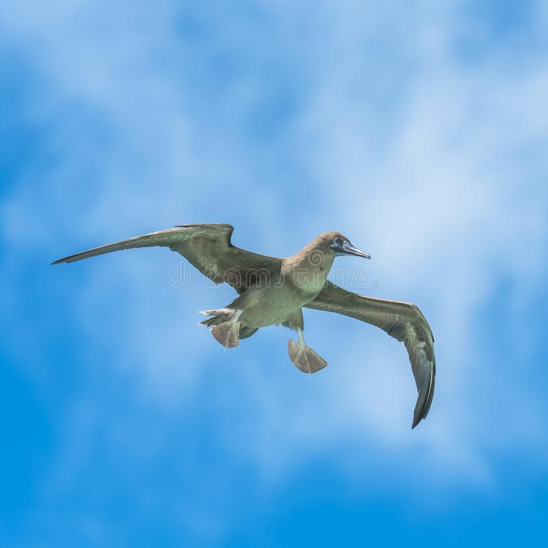 Brown-Dummkopf, Vogel stockfotos