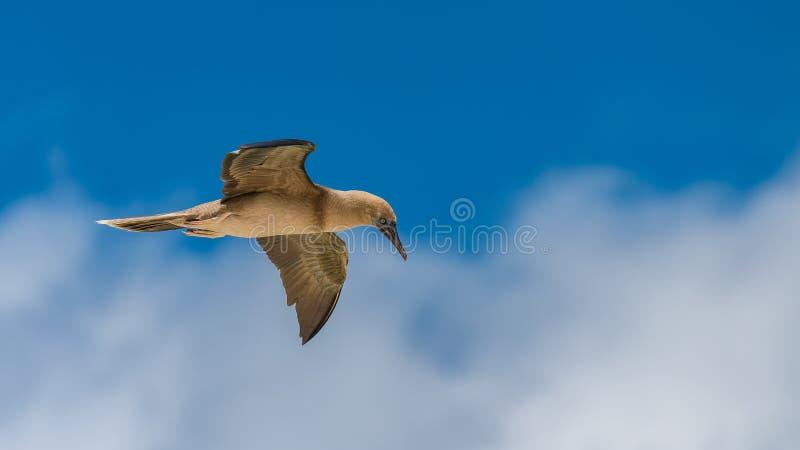 Brown-Dummkopf, Vogel stockbilder