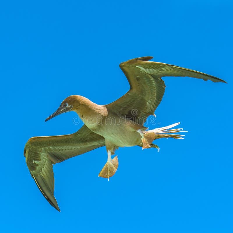 Brown-Dummkopf, Vogel stockbild