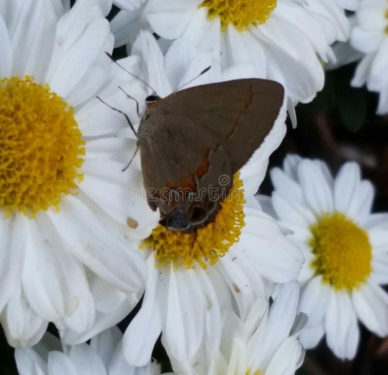 Brown e borboleta alaranjada no mum foto de stock royalty free