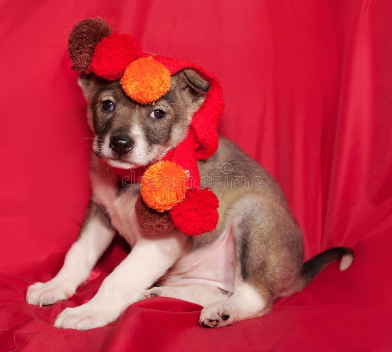 Brown e cachorrinho branco no lenço alaranjado que senta-se no vermelho imagens de stock royalty free