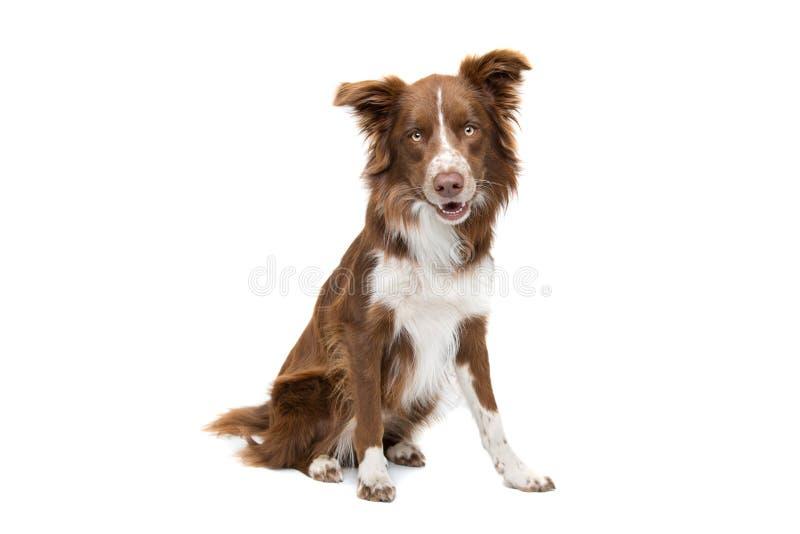 Brown e cane bianco del collie di bordo fotografie stock