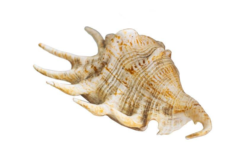 Brown e concha do mar branca isolados no fundo branco imagens de stock