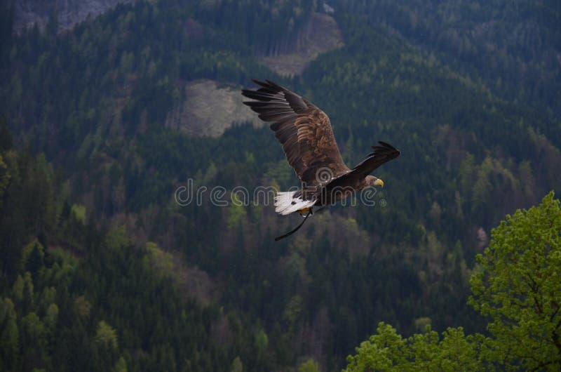 Brown e falcão preto do voo fotos de stock