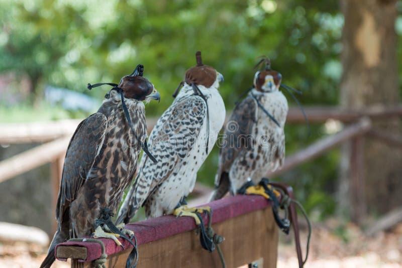 Brown e Falcons bianchi in conformità con incappucciato di cuoio fotografia stock