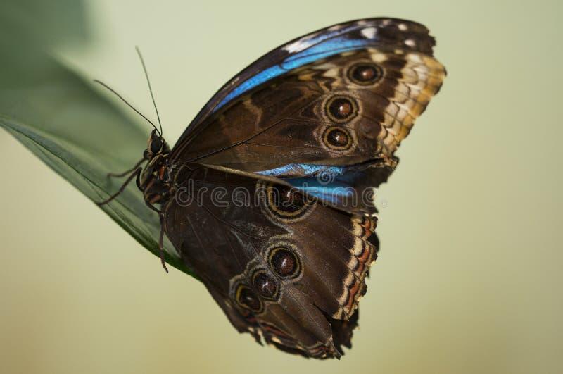 Brown e farfalla blu fotografia stock