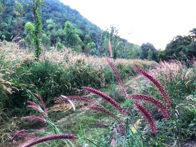 Brown e a grama roxa da missão na região selvagem colocam coberto de vegetação por natureza fotos de stock royalty free