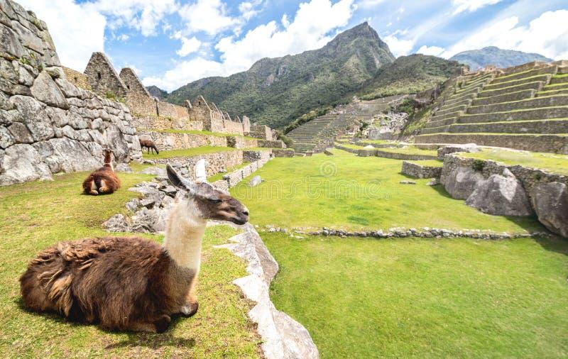 Brown e Lama branca que descansam no prado verde no local arqueológico das ruínas de Machu Picchu no Peru - destino exclusivo do  foto de stock