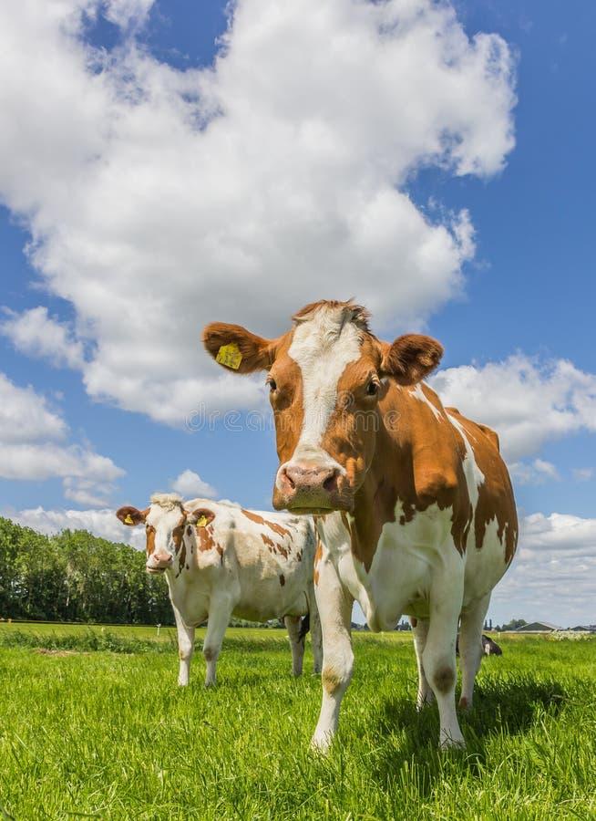 Brown e mucche bianche nell'erba verde fotografie stock