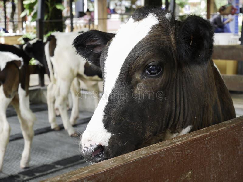 Brown e mucche bianche sull'azienda agricola fotografie stock libere da diritti