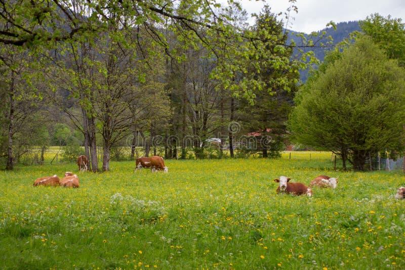 Brown e mucche da latte bianche fotografie stock