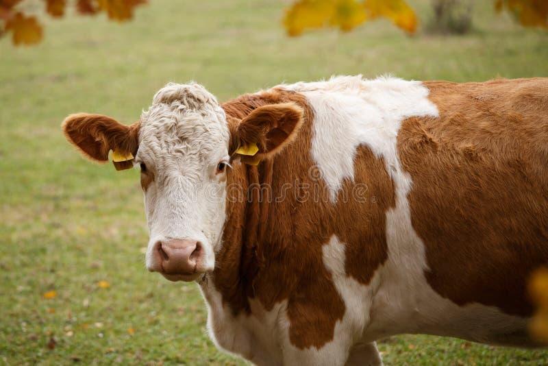 Brown e vaca de leiteria branca no pasto foto de stock