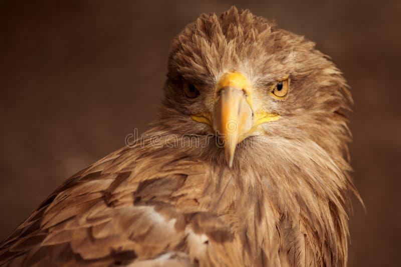 Brown eagle animal portrait royalty free stock photo