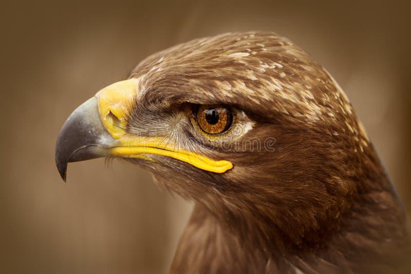 Brown eagle bird portrait royalty free stock photo