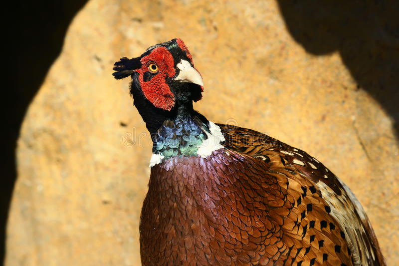 Download Brown-eared Pheasant stock photo. Image of rock, wild - 19111248