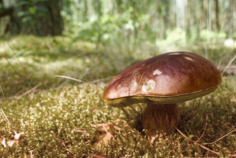 Brown edible mushroom royalty free stock photo