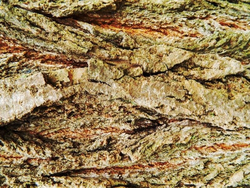 Brown ed albero di acero grigio della corteccia, molto muschio fotografia stock libera da diritti