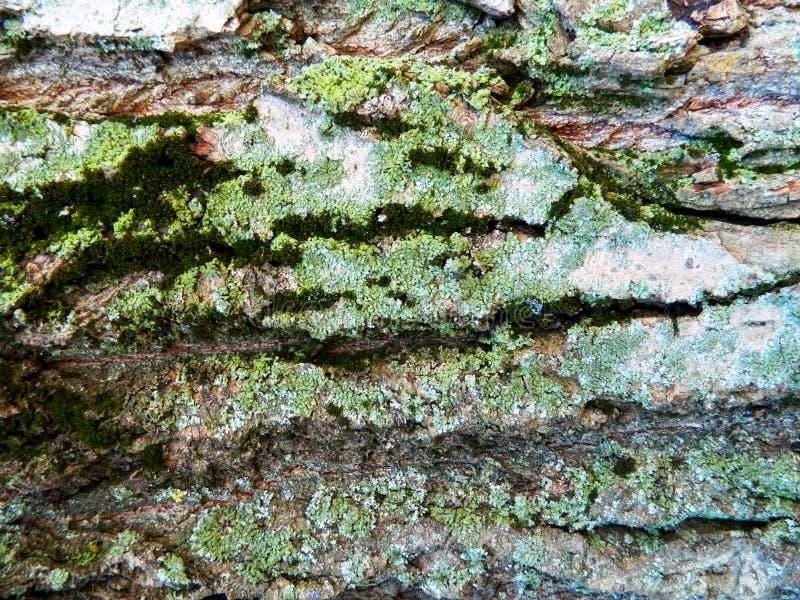 Brown ed albero di acero grigio della corteccia, molto muschio fotografie stock