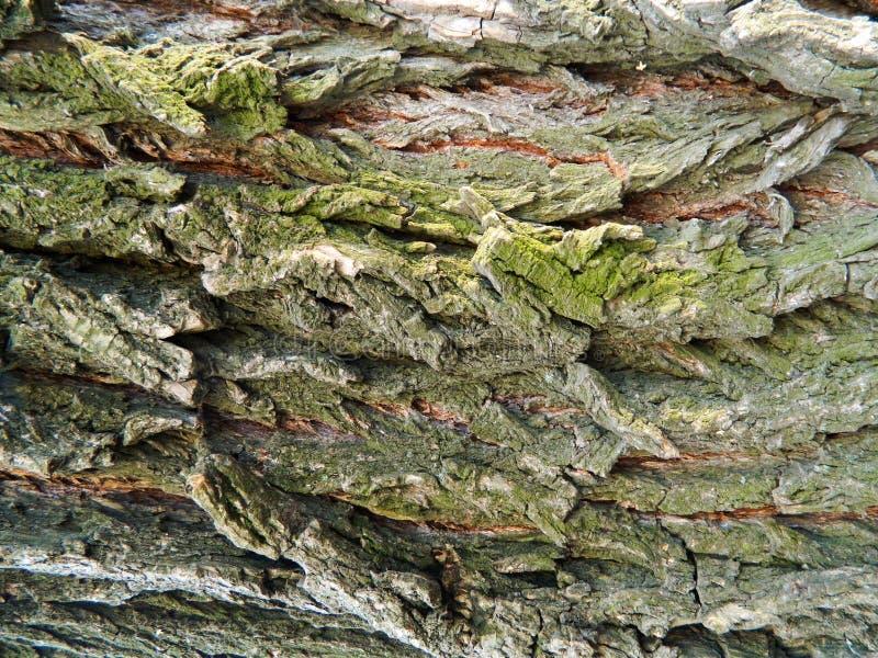 Brown ed albero di acero grigio della corteccia, molto muschio fotografia stock