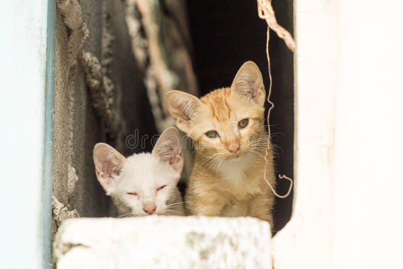 Brown ed i gatti bianchi sembrano svegli fotografie stock