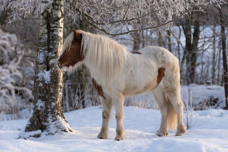 Brown ed il bianco o il pinto hanno colorato il cavallo islandese nella neve immagine stock libera da diritti