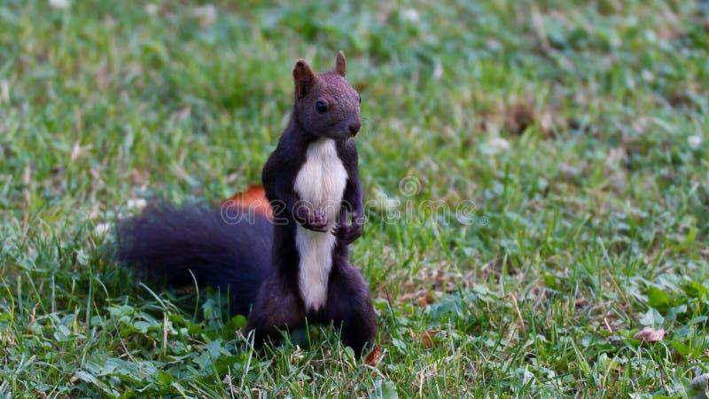 Brown-Eichhörnchen lizenzfreies stockfoto