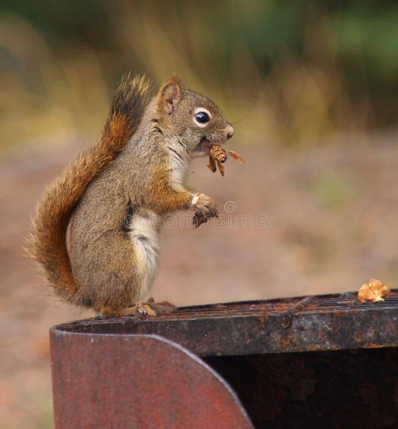 Brown-Eichhörnchen auf Feuerring stockfotos