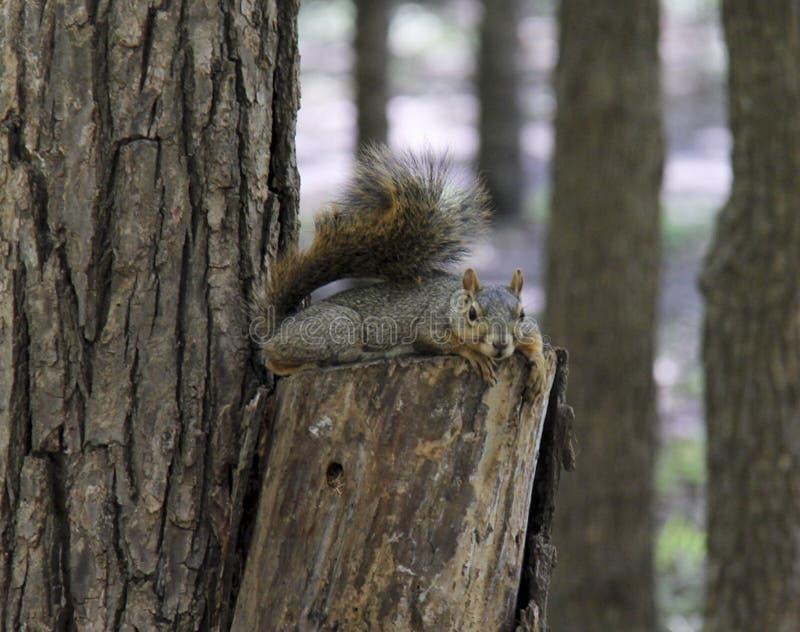 Brown-Eichhörnchen, das auf Baumstumpf faulenzt lizenzfreie stockfotos