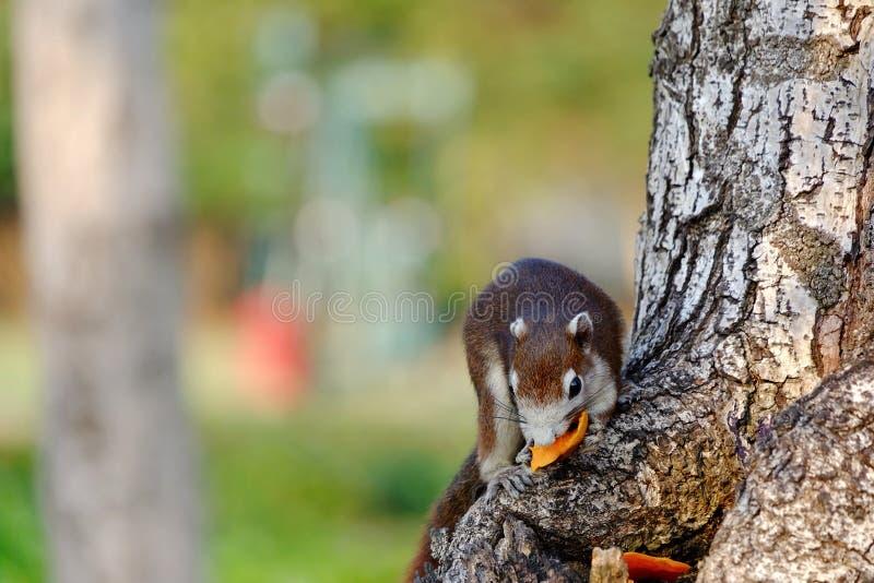 Brown-Eichh?rnchen, das auf einem Baumstamm sitzt und eine Frucht isst stockfoto