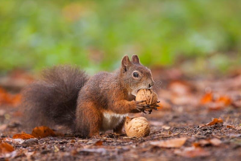 Brown-Eichhörnchen mit Nüssen stockfotografie