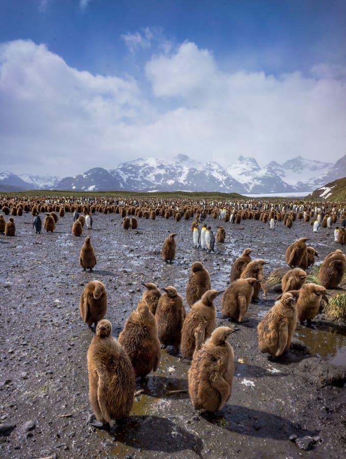 Brown emplumou-se meninos da estopa inunda a praia em planícies de Salisbúria fotografia de stock royalty free