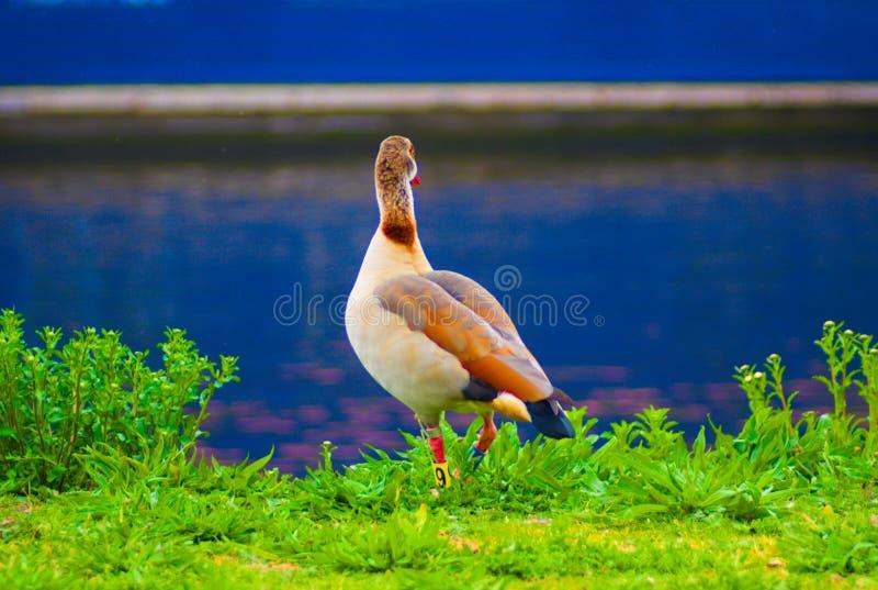 Brown-Ente, die über dem Wasser schaut stockfoto