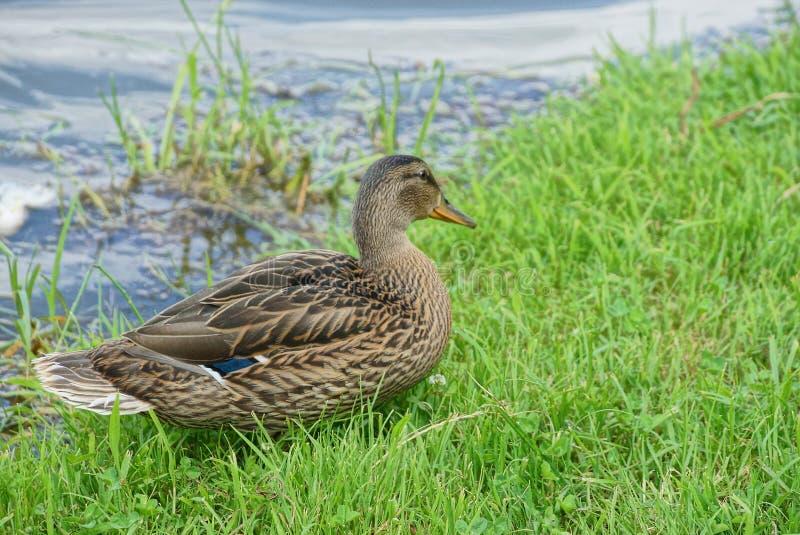 Brown-Ente im grünen Gras auf dem Strand nahe dem Wasser stockfotografie