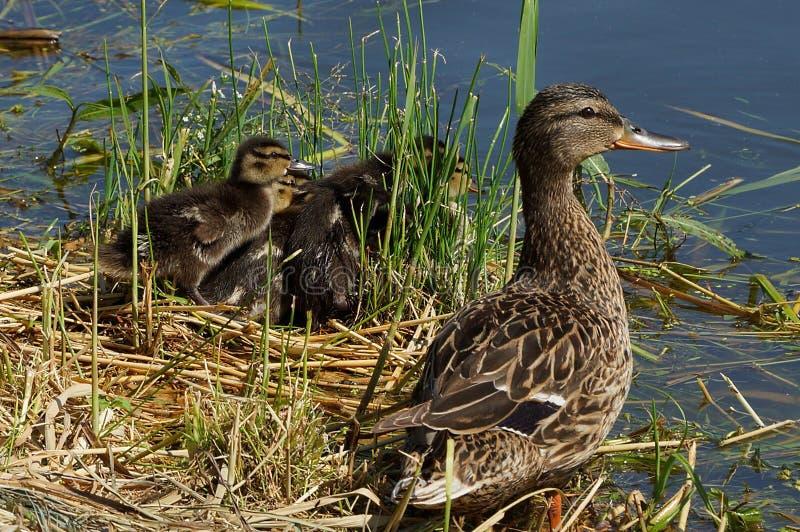 Brown-Ente und kleine Entlein auf dem Ufer im Gras nahe dem Wasser stockbilder