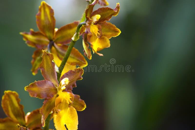 Brown epyphite orchid (Oncidium enderianum) stock photo