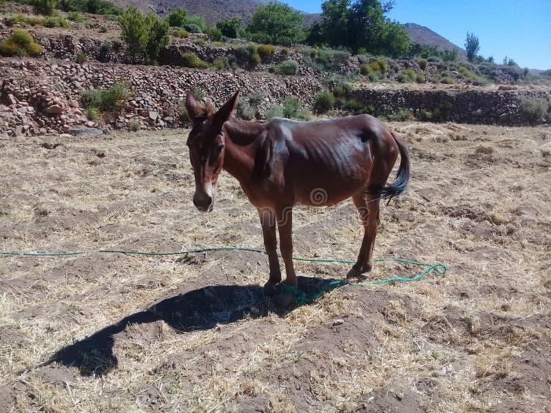 Brown-Esel im Berg lizenzfreie stockfotos