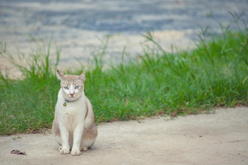 Brown et chat blanc photo stock
