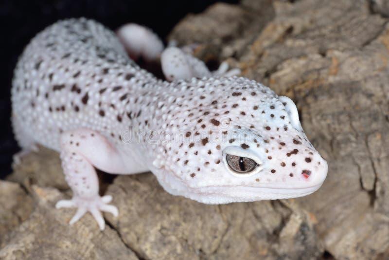 Brown et gecko de léopard repéré par blanc photographie stock libre de droits