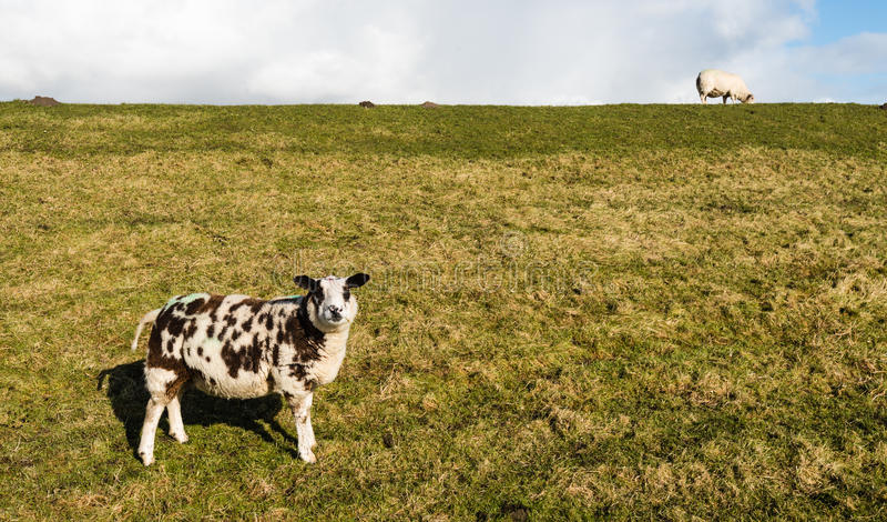 Brown et moutons blancs se tenant sur la pente d'une digue photo libre de droits