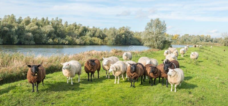 Brown et moutons blancs se tenant sur une digue images stock